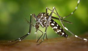 Mosquito Aedes Aegypti se alimentando sobre uma pele.