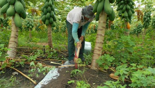 Técnico prepara a tira de alumínio em área com plantação (Foto: Isabel Cristina)