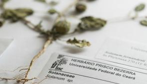 Foto da planta diante do seu registro no Herbário Prisco Bezerra, da UFC, no qual consta sua descrição (Foto: Jr. Panela/UFC)