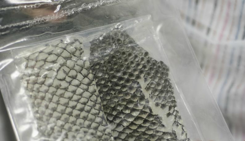 Imagem da pele da tilápia tratada, pronta para ser utilizada como curativo biológico (foto: Jr. Panela/UFC)