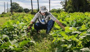 Agricultor sentado em meio à plantação de feijão, tocando as plantas (Foto: Jr. Panela/UFC)