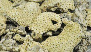 Imagem de alga de coloração amarela, uma das fontes de extração das lectinas (Foto: Ribamar Neto/UFC)