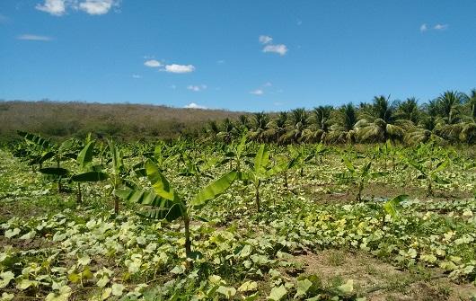 Área de plantação verde (Foto: Renata Nayara/GPEAS)