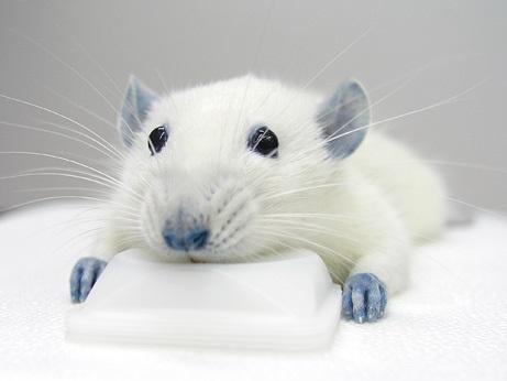 Rato com patas e orelhas azuis: efeito colateral do BBG (Imagem: Takahiro Takano/University of Rochester Medical Center)