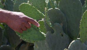 Mão de homem apontando para palmas forrageiras (Foto: Cássio Moreira/Codevasf/Banco de Imagens)