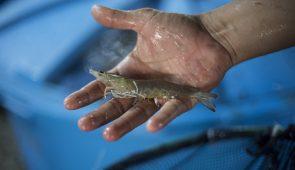 Mão segurando dois camarões (Foto: Jr. Panela/UFC)