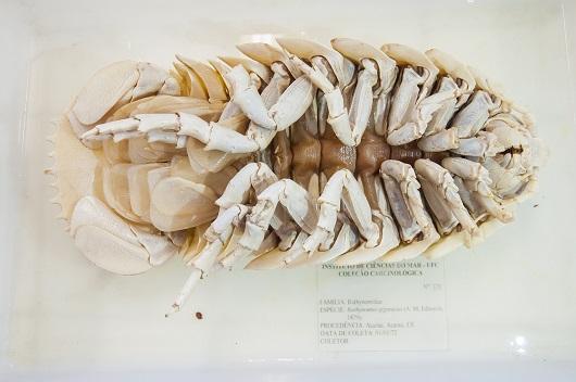 Barata-do-mar, ou Bathynomus Giganteus, com as patas viradas para cima (Foto: Ribamar Neto/UFC)