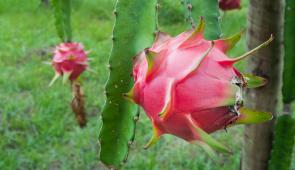 Plantação de pitaia, com fruta em primeiro plano (Foto: Ribamar Neto/UFC)