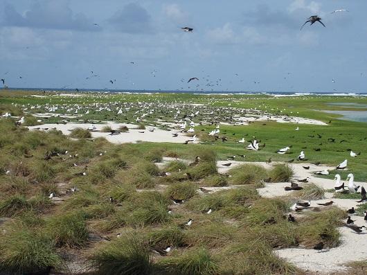 Abundância de aves na ilha do Cemitério, maior ilha arenosa do Atol das Rocas. Nesta ilha se localiza estação científica (Foto: Divulgação/Marcelo Soares)