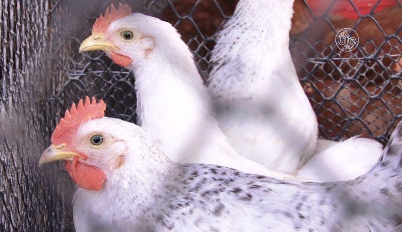 Três frangos um ao lado do outro (Foto: Reprodução/UFC TV)