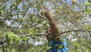 Agricultor colhendo goiaba (Foto: Viktor Braga/UFC)