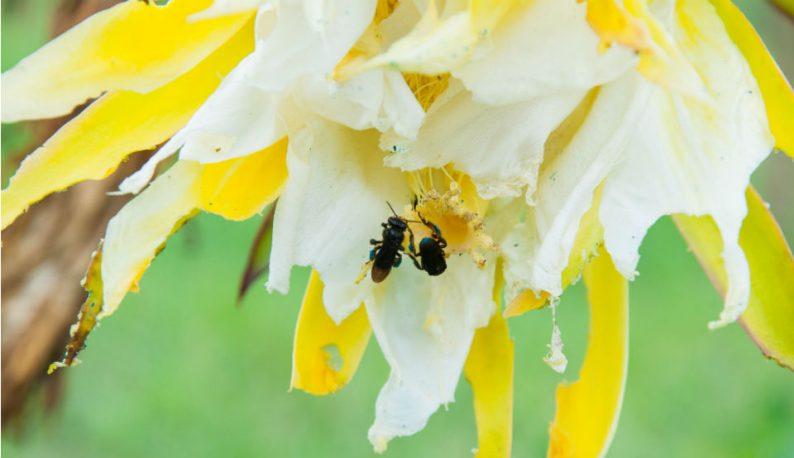 Abelham coletam néctar e fazem polinização em flores (Foto: Ribamar Neto/UFC)