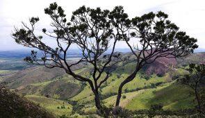 Árvore no Parque Nacinoal da Serra da Canastra (Foto: Gilberto Soares/MMA)