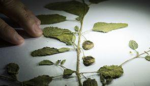 Exemplar de uma planta colocada sobre uma mesa para análise (Foto: Jr Panela/UFC)