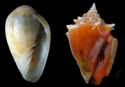 Duas espécies de moluscos gastrópodes registradas pela pesquisa: Bullata analuciae (à esquerda) e Strombus pugillis (Foto: Cristiane Xerez Barroso)