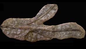 Imagem do fóssil de planta (Foto: Divulgação)