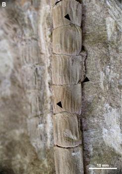 Fóssil em detalhe da espécie encontrada pela pesquisa (Foto: Divulgação)