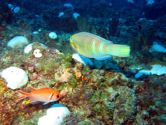 Corais em processo de branqueamento (Foto: Marcus Davis)