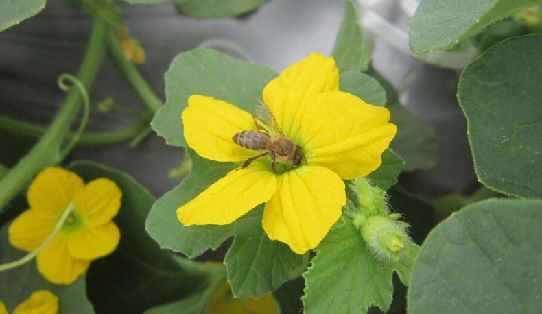 Abelha coletando néctar de uma flor hermafrodita de um meloeiro do tipo cantaloupe (Foto: Grupo de Pesquisas com Abelhas/UFC)