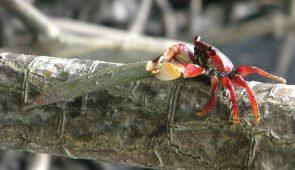 Caranguejo se alimentando de propágulo da espécie Rhizophora mangle (Foto: Alexander Ferreira/LABOMAR)