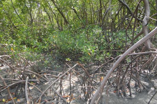 Bosque de Rhizophora mangle (Foto: Alexander Ferreira/LABOMAR)