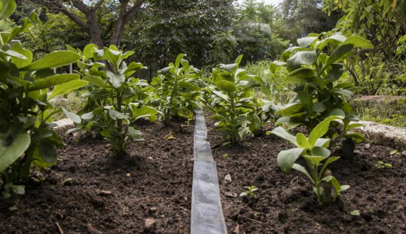 Plantas em terreno no Horto de Plantas Medicinais da UFC (Foto: Ribamar Neto/UFC)