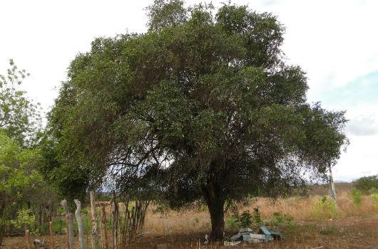 Árvore quixaba, em meio à vegetação da Caatinga (Foto: Pedro Everson de Aquino)
