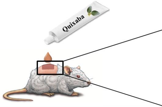 Desenho que simula a aplicação do creme à base de quixaba no tecido epitelial de um camundongo (Imagem: Abel Alencar)