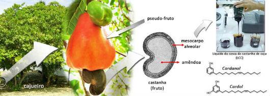 Infográfico com cajueiro, caju, ilustração da castanha, foto com imagem do LCC e estruturas químicas do cardol e do cardanol (Imagem: Diego Lomonaco)