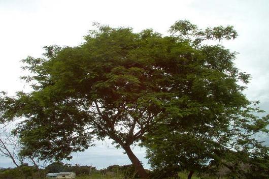 Fotografia da árvore angico