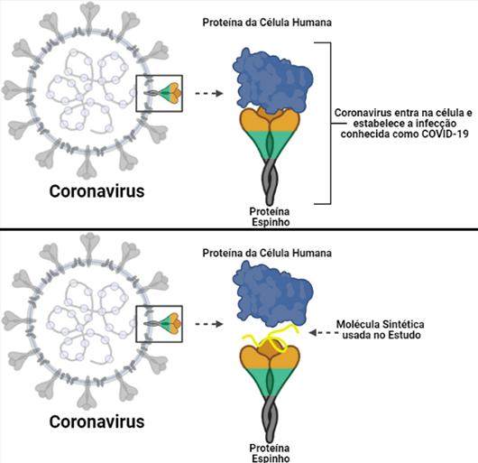 Ilustração mostrando a proteína spike do vírus se conectando à célula humana; abaixo, essa interação é bloqueada pela molécula usada no estudo