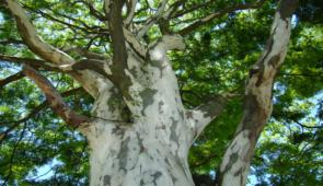 Fotografia de tronco da árvore jucá