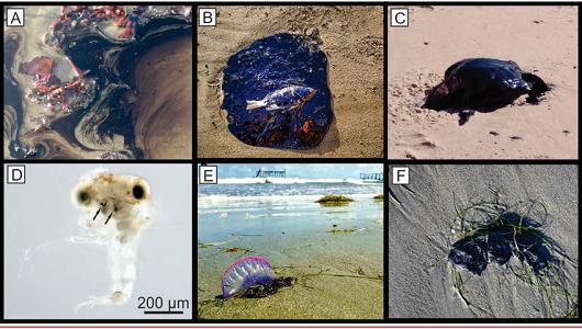 Fotografias do óleo atingindo fauna marinha