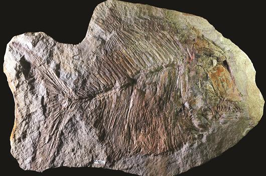 Fóssil de peixe do gênero Neoproscinetes, da Região do Cariri