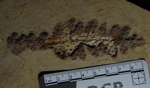 Fóssil de espécie de planta recém-descoberta na região Cariri
