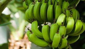 Foto de um cacho de bananas